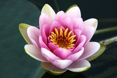 lily kwitnąca wody. Obraz Stock
