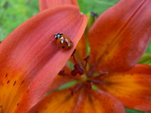 Lily and ladybird. Red lily and ladybird stock photo