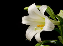 Lily with Large Blossom Stock Photography