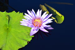 Lily. Large purple lily suspended in the pond Stock Images