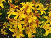 Lily lat. Lílium is a genus of plants of the Lily family Liliaceae. stock images