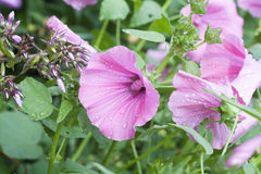 Lily lavatera w kroplach rosa, selekcyjna ostrość Zdjęcie Stock