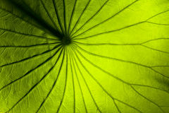 Lily leaf Royalty Free Stock Photo