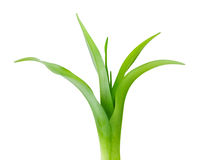 Lily Leaf Royalty Free Stock Images