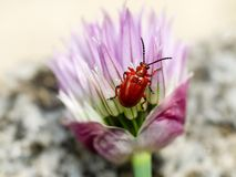 Lily leaf beetle on chives flower. Photo shows a red lily leaf beetle on chives flower Stock Photo