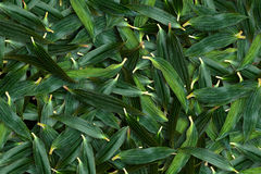 Lily leaf green overlapping. Background Royalty Free Stock Photo