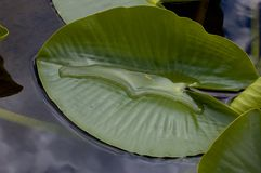 Lily leaf in the water Stock Images