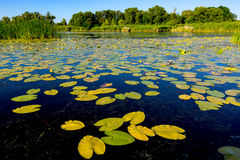 Lily leafs on river water surface Royalty Free Stock Photography