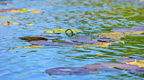 Lily leafs on water. With frog stock photo