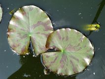 Lily Leaves Stockfoto