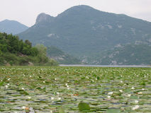 Lily leaves on Skadar Lake, Montenegro Royalty Free Stock Photos