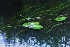 Lily leaves in water Stock Image
