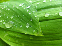 Lily leaves. And water drops Royalty Free Stock Photos