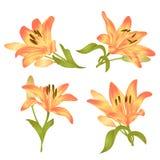 Lily Lilium amarilla candidum, la flor con las hojas y el brote en un fondo blanco fijaron el primer ejemplo del vector editable Imagenes de archivo