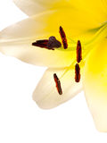 Lily (Lilium auratum) Stock Photography