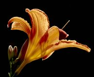 The lily Lilium. Close up of variety of lily lilium, flowering in June Stock Photos