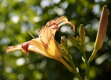 The lily Lilium. Close up of variety of lily lilium, flowering in June Royalty Free Stock Photo