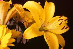 Lily Lilium longiflorum Close up Stock Images