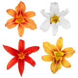 Lily. lily flowers isolated. lily flowers. lily flowers isolated Royalty Free Stock Photo