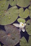 Lily and lily pads with raindrops royalty free stock photos