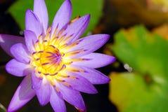 lily lotosu purpurowy Zdjęcie Stock