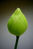 lily lotosu wody zdjęcia royalty free