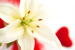 Lily and love Royalty Free Stock Photo