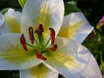 Lily lys in Quebec. Canada, north America. Lily lys in Quebec. Canada north America royalty free stock images