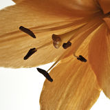 Lily Macro. Orange lily macro on a back lit white table Stock Photo
