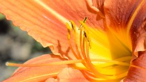 Lily Macro stock footage