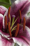 Lily in macro. Flower of lily (Lilium Stock Image