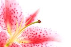 Free Lily Macro Highkey On White Royalty Free Stock Image - 2557396