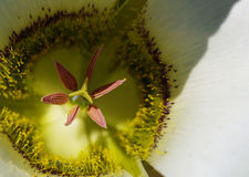 Lily. A macro photo of a Mariposa Lily in bloom. The stamen and interior of the petals is visible in fine detail stock photo