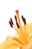 lily makro obrazy stock