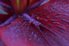 Lily Maroon Flower Petal Abstract Stock Foto