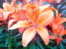 Lily nature wallpaper. Flowers  spring, garden morning, beautiful plants, brightness of nature, blossom Stock Photography