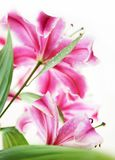 Lily n close up Royalty Free Stock Images