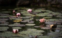Lily. Nikitskiy botanicheskiy Garden. Visiting Nikita Botanical Garden. Pink flowers, floating in quiet water. Silent and piesful around Royalty Free Stock Images