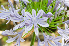 Lily of the Nile. This is a blue-lilac variety of Lily of the Nile royalty free stock photo