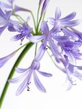 Lily of the Nile. Agapanthus  bloom on white  background Stock Photography
