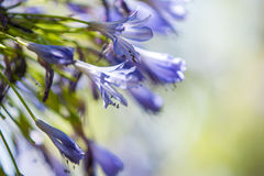 Lily of the Nile, Agapanthus Africanus, macro Stock Image
