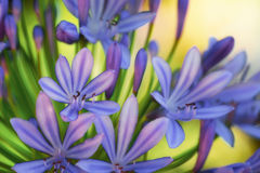 Lily of the Nile - Agapanthus Royalty Free Stock Image