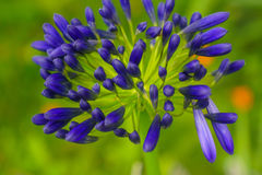 Lily of the Nile Agapanthus African Lily Stock Image