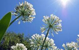 Lily of the Nile Agapanthus flowers growing toward the sky. Stock Photos