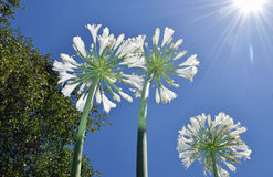 Lily of the Nile Agapanthus flowers growing toward the sky. Royalty Free Stock Photography