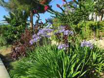 Lily of the Nile. Agapanthus or Lily of the Nile flowers on road embankment in Alora, Andalucia Royalty Free Stock Photo