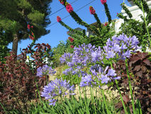 Lily of the Nile. Agapanthus or Lily of the Nile flowers on road embankment in Alora, Andalucia Stock Photo
