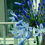Lily of the Nile & x28;agapanthus& x29; flowers royalty free stock photography