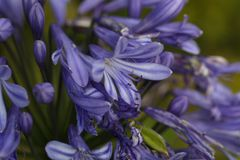 Lily of the Nile  (Agapanthus sp.) Stock Photos