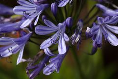 Lily of the Nile  (Agapanthus sp.) Stock Photo